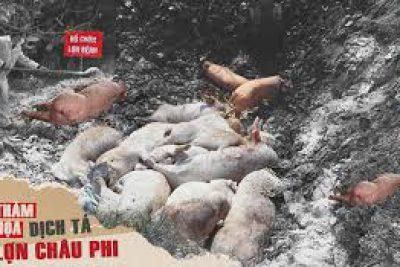 Phòng chống dịch tả lợn Châu Phi